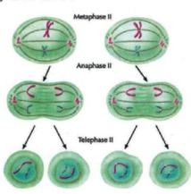 2nd-meiotic-division