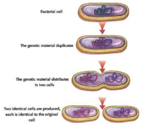 Asexual reproduction in bacteria is