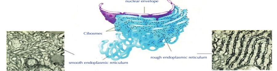 endoplasmic-reticulum