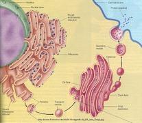 exocytosi