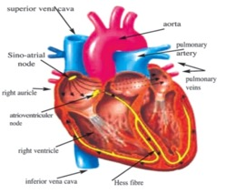 The Circulatory System Function | A-Level Biology Revision ...