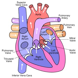 human-heart-structure