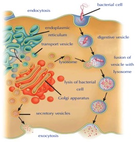lysosome-enzymes