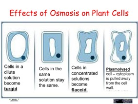osmosis-plant-cells