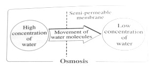 Osmosis | What Is It? | A-Level (A2/AS) Biology Revision Notes