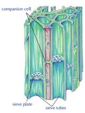 phloem-tissue