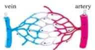 the-capillaries