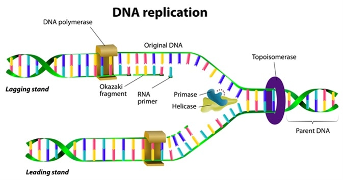 Dna Replication Diagram DNA Replication In Bri...