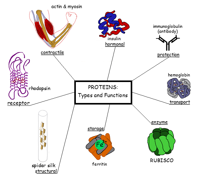 Functions Of Protein What Where How A Level Notes