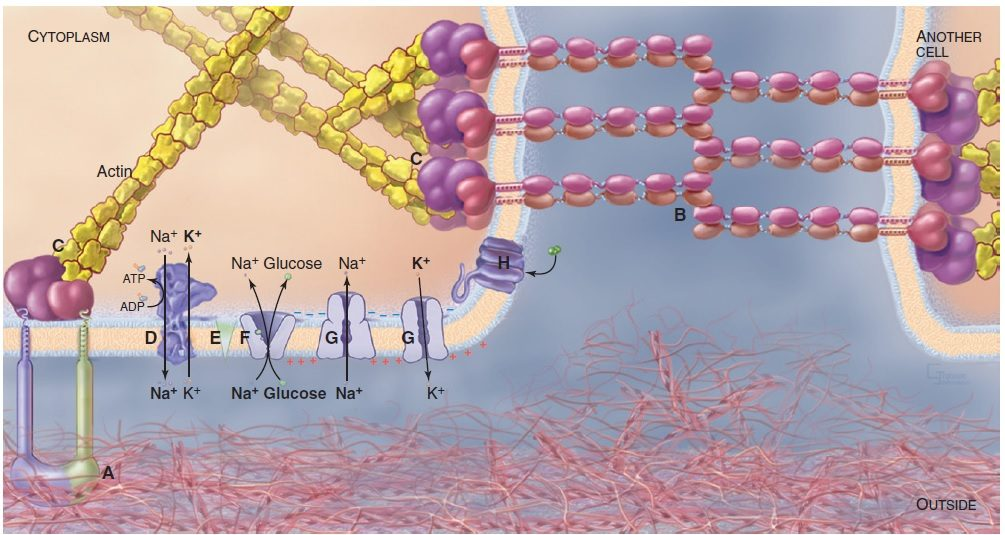 Plasma Membrane - Structure And Functions | A-Level Biology