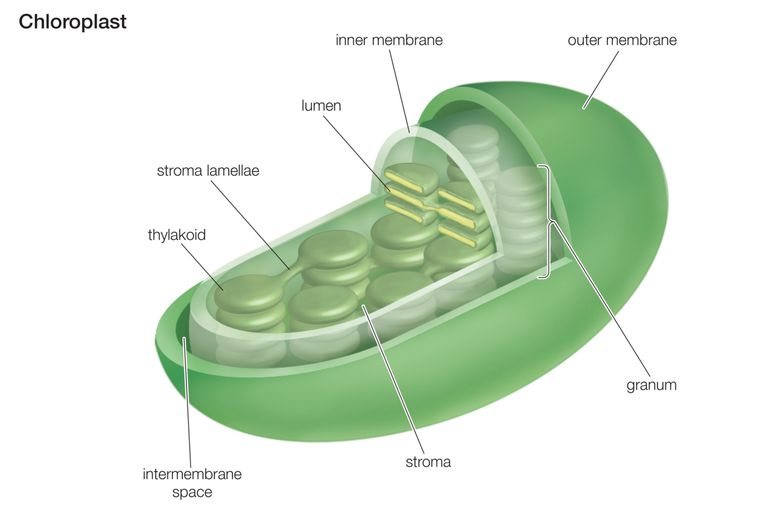 Chloroplasts - Structure And Functions | A-Level Biology