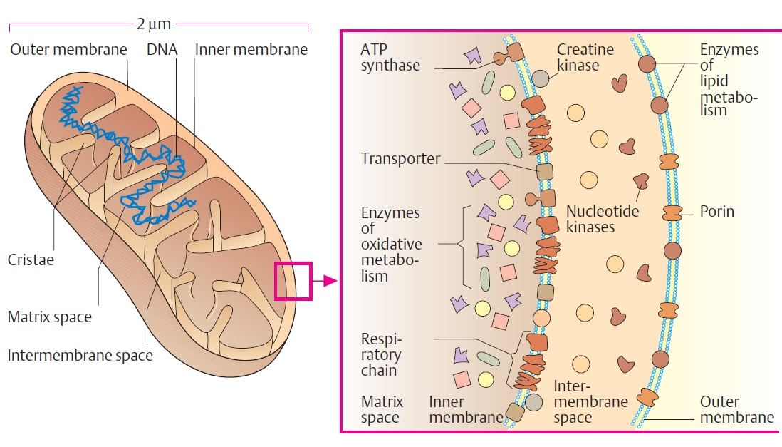 mitochondria structure and functions a level biology revision notes