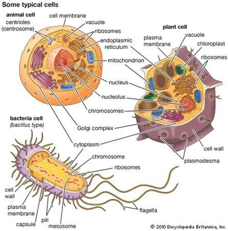An Introduction To Cells   A-Level Biology Revision Notes