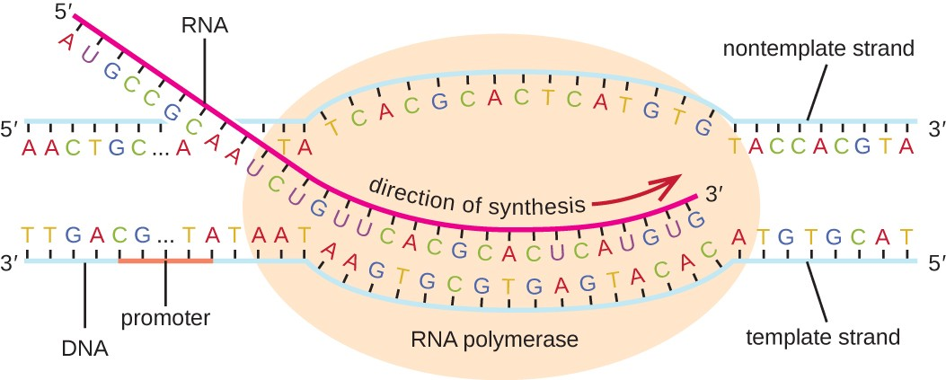 Functional Output Of DNA: Protein Synthesis | A-Level
