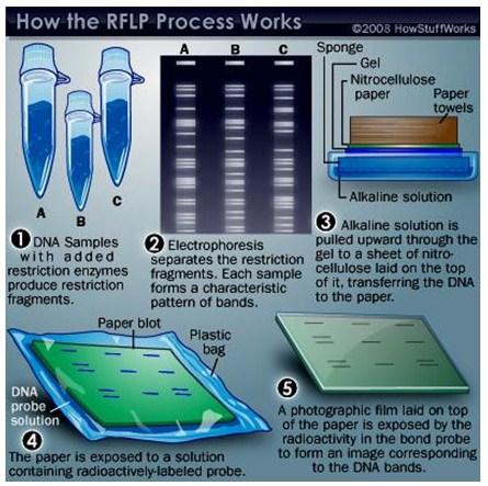 Genetic Fingerprinting   A-Level Biology Revision Notes