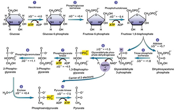 Respiration A Level Biology Revision Notes