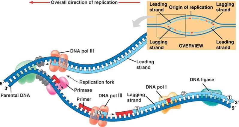 Dna Replication Diagram Introduction To DNA Re...