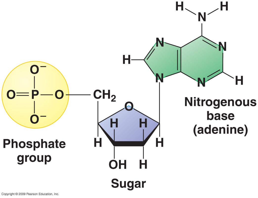 The Sugar Occupies A Central Position With The Nitrogenous Base Attached To Its First Carbon 1 E2 80 B2 And The Phospgroup Attached To Its Fifth Carbon 5 E2 80 B2