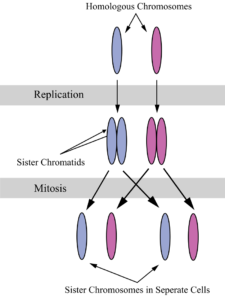 The Cell Cycle Interphase Mitosis A Level Biology