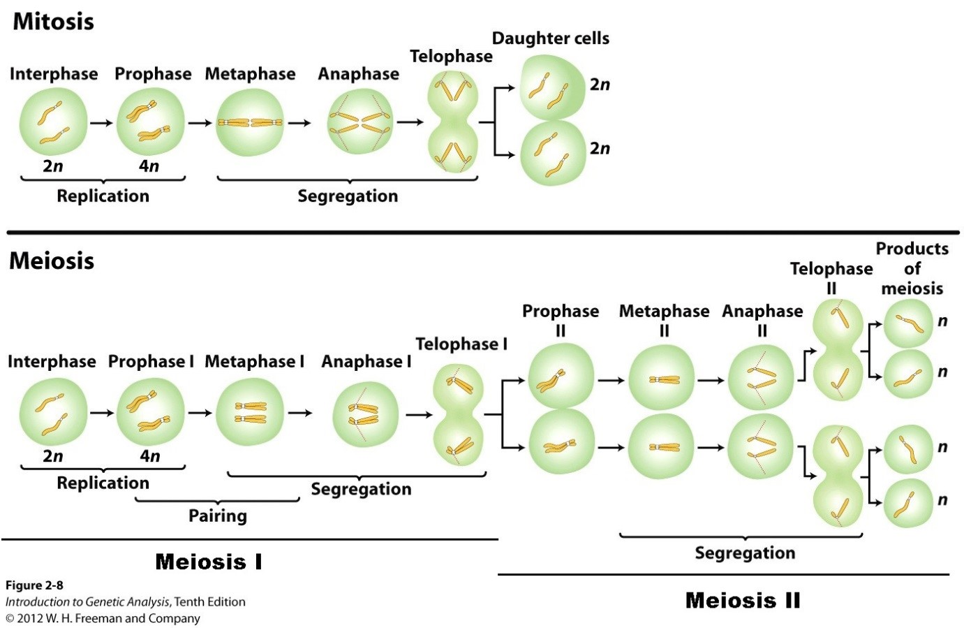 Meiosis         Stages     Comarison   Definition   ALevel Biology Revision Notes
