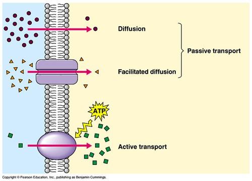 Movement Diffusion Osmosis A Level Biology Revision Notes
