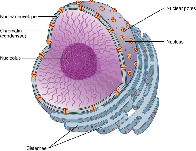 Plant And Animal Cells | Shape & Differences | GCSE ...