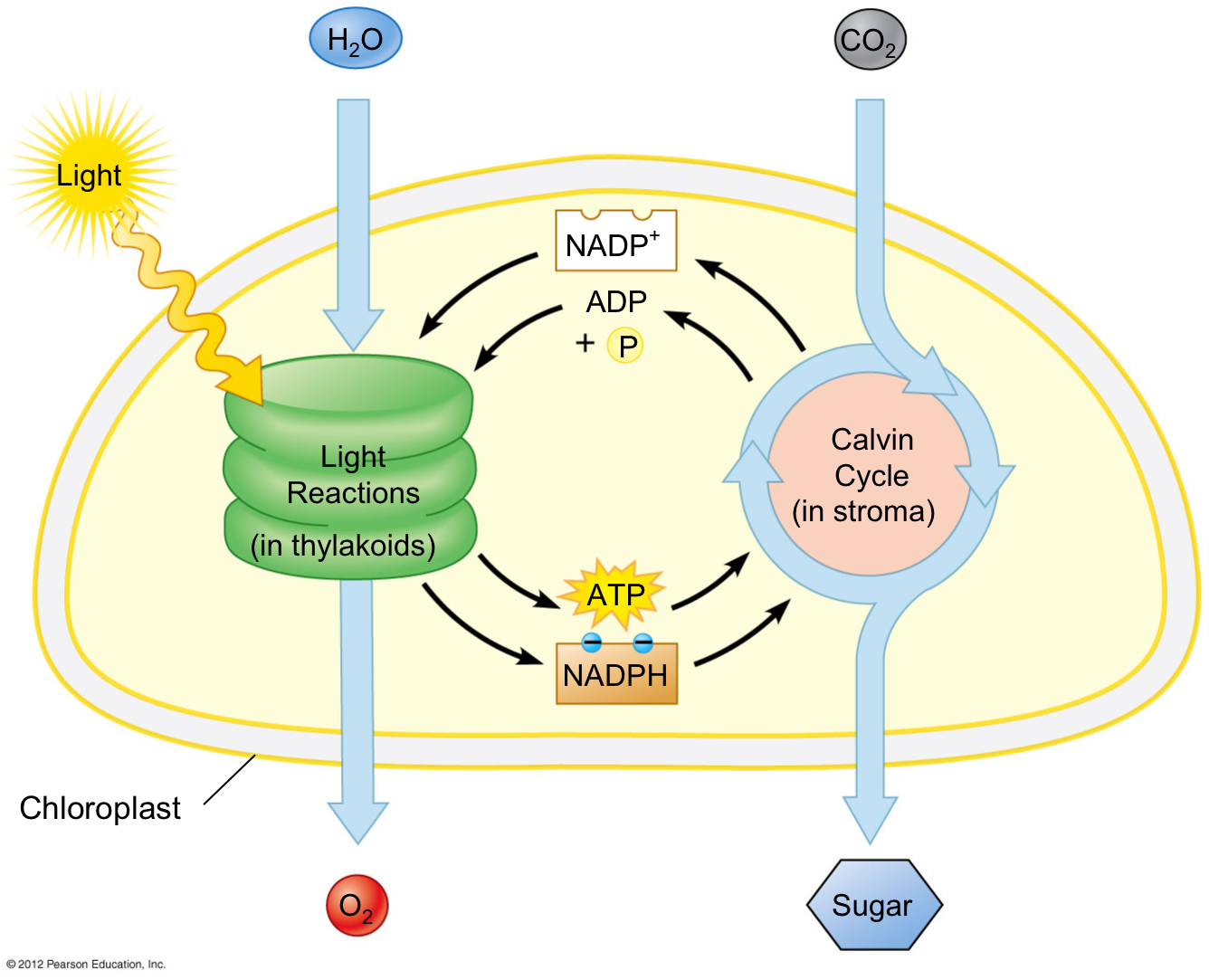 photosynthesis light reactions overview biology ap independent reaction summary cycle molecular calvin molecules dark plant process steps phase chloroplast level