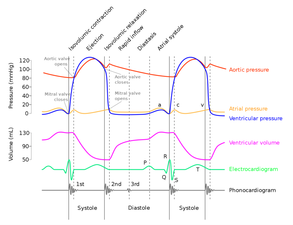 The Cardiac Cycle   A-Level Biology Revision Notes